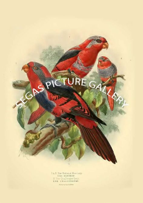 Fine art print of the Red-and-Blue Lory - Eos histrio & Challenger Lory - Eos challengeri by St George Mivart (1896)